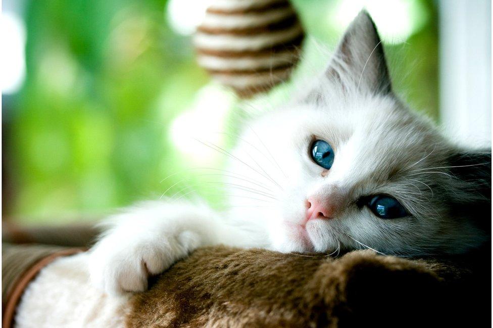 Korona virus i životinje: Naučnici imaju sve više dokaza da ljudi mogu da zaraze mačke